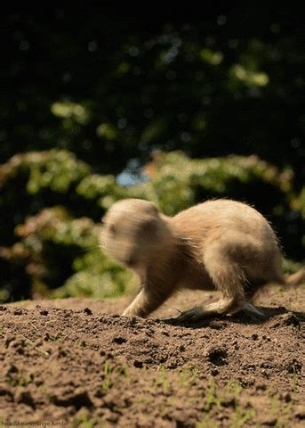 Prairie Dog GIFs - Find & Share on GIPHY