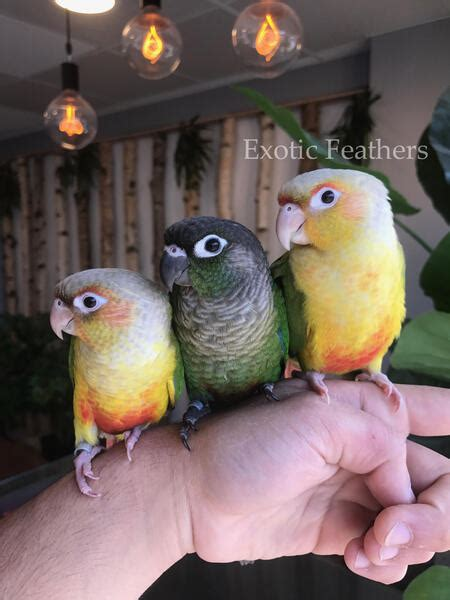 Hand Reared And Tame Baby Green Cheek Conure Parrots For