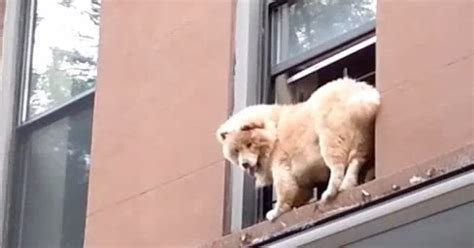 White Wolf : Firefighter rescues scared dog trapped on