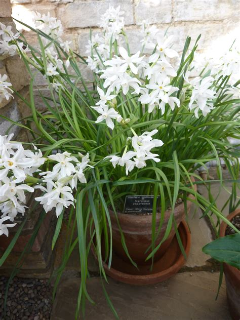 Paperwhite narcissus–winter flowers   Chicago Weather Watch