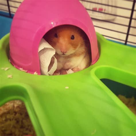 Pin by Christina Johnson on Hamsters   Hamster, Cute