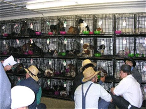 The Amish's 19th-Century Ways Results in Amish Puppy Mills