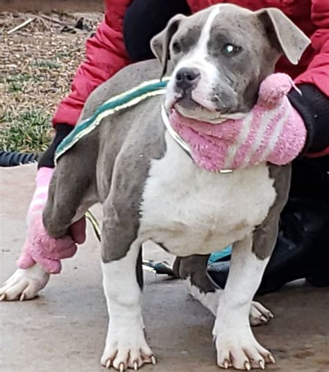 57 Best Images Bully Puppies For Sale Craigslist : Pitbull