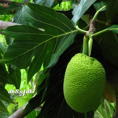 Buy Rare Exotic Fruit Plants Online   All India Delivery
