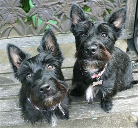Scoland Terrier Dog Breed Information and Pictures