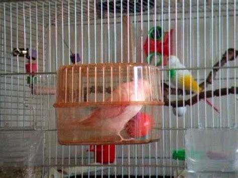 Funny pink budgie rolling! - YouTube