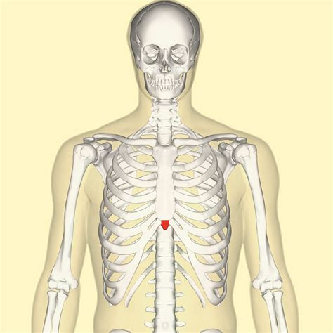 Xiphoid process - Wikiwand