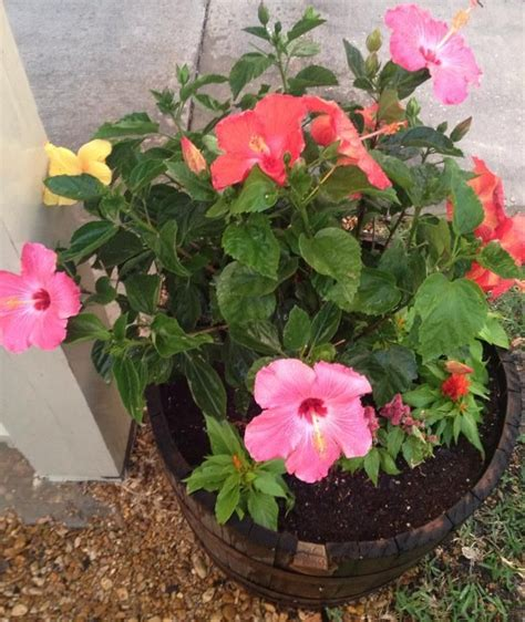 Grafting Hibiscus Plants / It is also a much faster way to