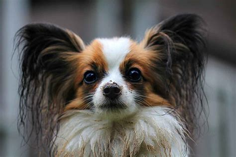Papillon Dog Breed Trainability, Temperament & Other Best