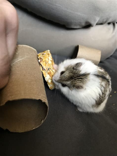 Can someone tell me what kind of dwarf hamster he is?https